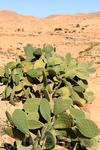 """Кактус - """"житель"""" пустыни"""