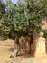 На территории самого храма почти ничего не растет, только вот эта старая олива, которая похоже пережила ту самую засуху. Ведь оливковые деревья растут ...