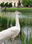 Вальдштейнский сад. Павлин-альбинос