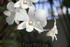 она же  орхидея белая