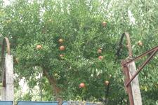 Те самые гранатовые деревья,которые навеяли воспоминания о детстве.