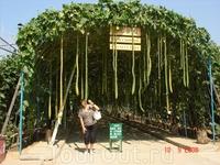 Ботанический сад возле Байдэхэ.. Так растёт мочалка. Называется ЛЮФА.