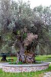 Интересно, сколько лет этому дереву