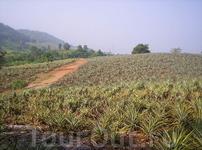 ананасовое поле