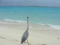 Мальдивская цапля...часами стоит на одном месте и смотрит вдаль океана!