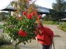 Розы штамбовые в октябре