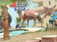 Верблюд в памперсе.