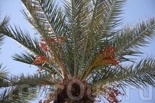 пальма)