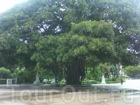 Потрясающе- большое дерево в Английском парке