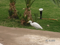 на улицах Шарма; цапля белая