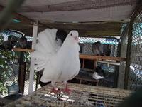 болгарские голуби