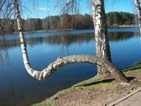 Танцующая береза на берегу озера Друсконис.