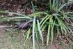 Флора и фауна. Дикие ананасы