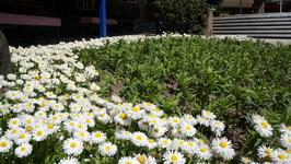 ромашки уже цветут, а всего лишь 23 апреля :) by D.