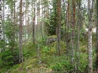 Лес. Сосны, мох, красота