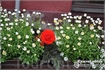 Цветы,цветы ...