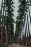 Главная  аллея ботанического сада составляет около 700 метров в длину и имеет 137 королевских пальм.