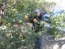 Вкусны цитрусовые с дерева зимой!