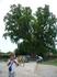 Дерево лиран-долгожитель. Памятник природы в п.Головинка.