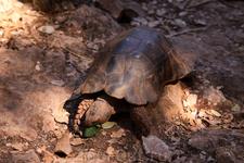 о. Закинтос. Природный парк Аскос. Сухопутная черепашка умяла листочек прямо на наших глазах! Первый раз видела таких активных черепах)