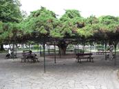 Уникальное дерево!