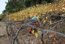 урожай винограда уже собран, но остались еще какие то ягодки. Очень хочется попробовать