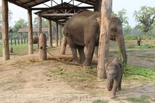 Читван. Слоновья ферма. Здесь содержаться слонихи с маленькими слонятами