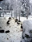 Загон для водоплавающих (гуси, утки, лебеди) в зоопарке