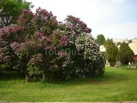 Главный Ботанический сад, знаменитый сиренгарий (лучший в Союзе был, между прочим).Как жаль, что все это теперь заграница...