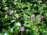 На озере круглый год цветут лотосы