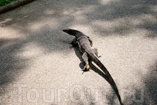 Свободно гуляющий варан в зоопарке Дусит