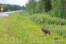 На севере Финляндии природа очень красивая – камни, сосны и озера.  И олени скачут по кустам. Тут вообще много непуганых животных.