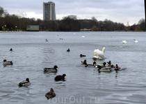 Водоплавающее братство на просторах озера.
