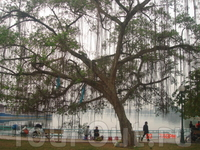 Баньяновое дерево на берегу озера Хотэй